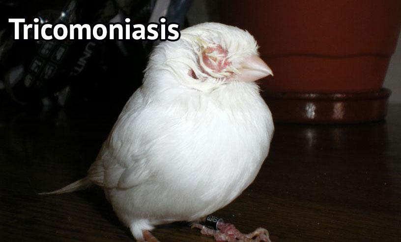Tricomoniasis en Canarios (Mofletones)